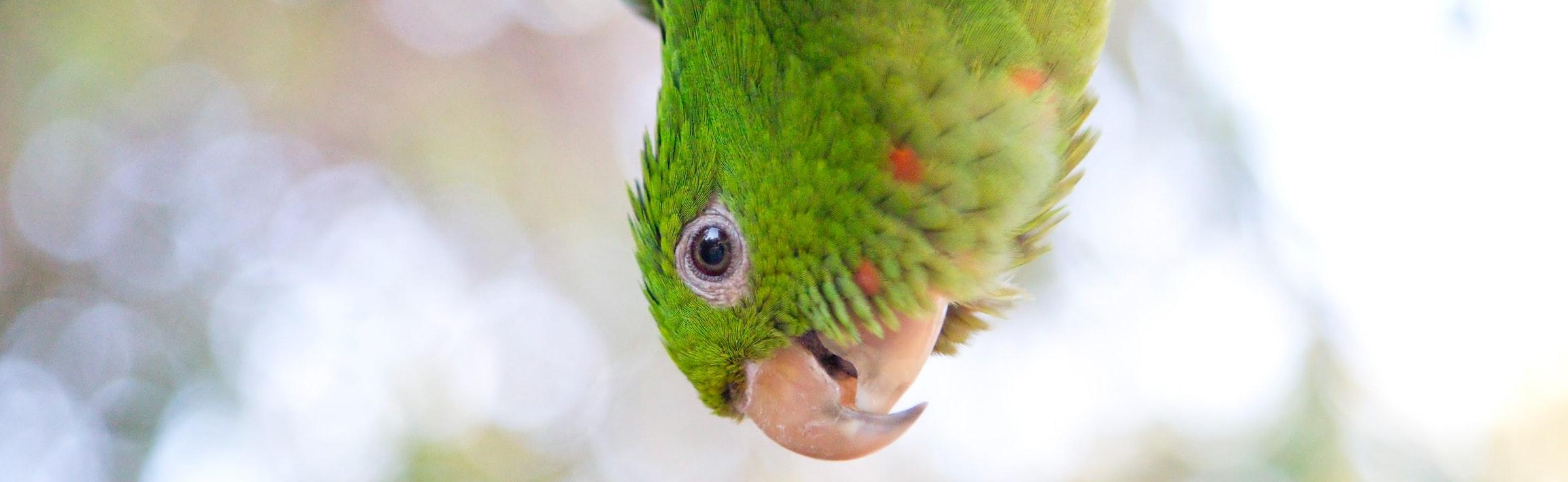 green conure head upside down